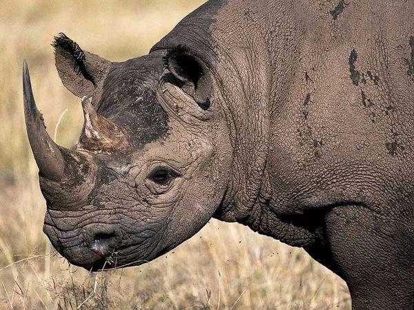 black-rhino_468_600x450