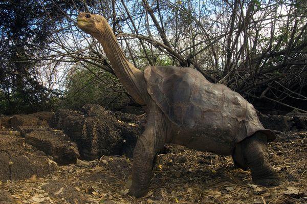 lonesome-george-tortoise-species_61258_600x450