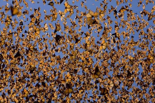 Farfalle monarca in volo