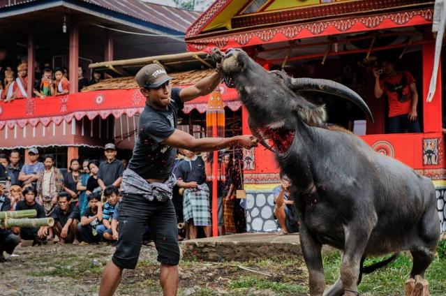 sacrificio-bufalo-toraja