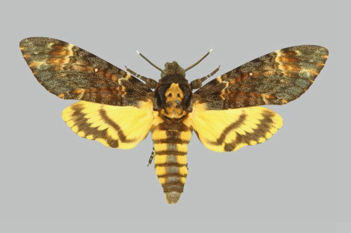 Acherontia_atropos_BMNHE274138_male_up