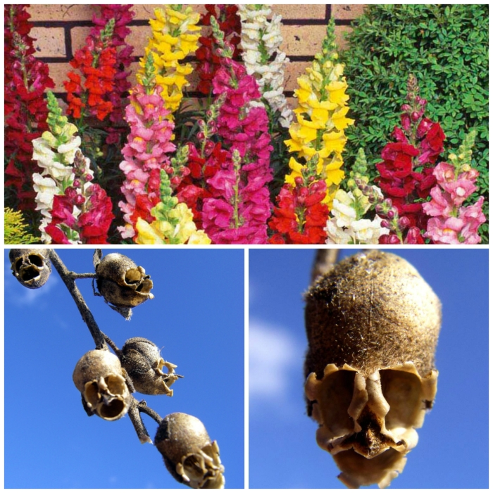 flower_with_the_most_unusual_form__the_skull